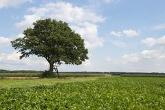 Solitary Pedunculate Oak Quercus robur with a ladder leading to a raised hide - stock photo