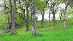 Beautiful Spring forest with bluebells flowers in blossom Stock Footage