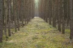 Stock Photo of Scots Pines Pinus sylvestris pine monoculture pine forest Holzacker Lower