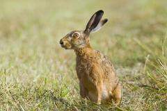 European Hare Lepus europaeus on a meadow alert Lower Saxony Germany Europe Stock Photos