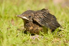 Blackbird Turdus merula young sitting in the grass Lower Saxony Germany Europe Stock Photos