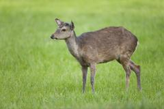 Sika Deer Cervus nippon with antlers forming captive Bavaria Germany Europe Stock Photos