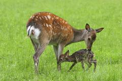 Sika Deer Cervus nippon doe with newborn fawn captive Bavaria Germany Europe Stock Photos