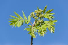 Stock Photo of Rowan Sorbus aucuparia Pyrus aucuparia leaves and buds Lower Saxony Germany