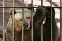 European brown bear Ursus arctos in the cage behind bars captive Thuringia Stock Photos