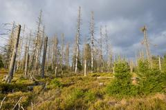 Forest regeneration through natural rejuvenation in the Harz National Park - stock photo