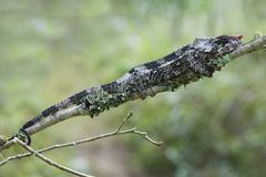 Elephanteared Chameleon or Shorthorned Chameleon Calumma brevicornis Stock Photos