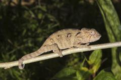 Oustalets or Malagasy Giant Chameleon Furcifer oustaleti young animal Stock Photos