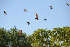 Madagascar Flying Foxes Pteropus rufus in flight Toliara Province Madagascar Kuvituskuvat