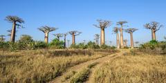 Stock Photo of Avenue of the Baobabs Baobab trees Adansonia grandidieri Morondava Toliara