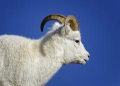 Dall Sheep Ovis dalli Denali National Park Alaska USA - stock photo