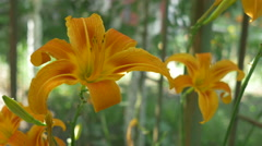 Two Lilies in Bloom Stock Footage