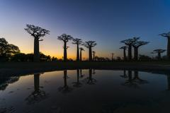 Avenue of the Baobabs African baobab Adansonia digitata at sunset with - stock photo
