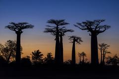 Avenue of the Baobabs African baobab Adansonia digitata at sunset Morondava - stock photo