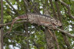 Oustalets or Malagasy Giant Chameleon Furcifer oustaleti Adringitra region Stock Photos