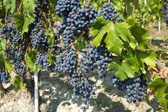 Nebbiolo or Nebieul grapes Piedmont Italy Europe Stock Photos