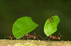 Workers of Leafcutter Ants Atta cephalotes carrying leaf pieces into their nest Stock Photos
