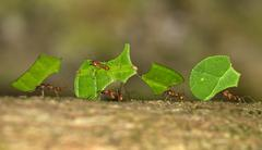 Leafcutter Ants Atta cephalotes workers carrying leaf segments to their nest Stock Photos