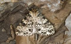Ethiopian moth Rhypopterix sp Harenna Forest Bale Mountains Oromia Region Stock Photos