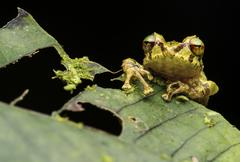 Neotropical frog Pristimantis eriphus female Andean cloud forest Cosanga - stock photo