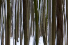 Distortedtree trunks in the Ghost Forest or Nienhager Holz in Nienhagen - stock photo