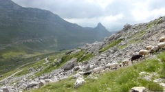 Sheeps high in mountains Stock Footage