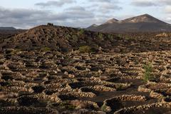 Typical vineyards in dry cultivation in volcanic ash evening light - stock photo