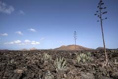 Agaves Agave in the lava field near Mancha Blanca Lanzarote Canary Islands Stock Photos