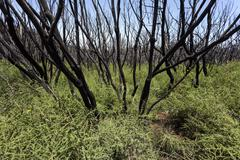 Charred shrubs in green vegetation traces of the forest fire of 2012 below the - stock photo
