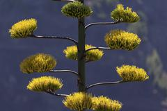 Stock Photo of Flowering Agave Agave La Gomera Canary Islands Spain Europe