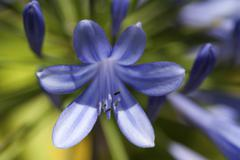 African Lily Agapanthus Madeira Portugal Europe Stock Photos