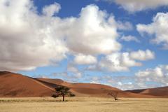Camel thorn trees Vachellia erioloba sand dunes at Dune 45 Sossusvlei Namib - stock photo