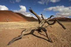 Stock Photo of Dead Camel thorn tree Vachellia erioloba sand dunes in front of Dune 45