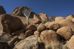 Young quiver tree Aloe dichotoma rocks and boulders Spitzkoppe Damaraland Stock Photos