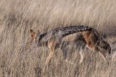 Blackbacked jackal Canis mesomelas prowling through the grass Etosha National - stock photo