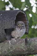 Young Little Owl Athene noctua Emsland Lower Saxony Germany Europe Stock Photos