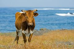 Cattle on the Pacific coast Easter Island Chile South America Stock Photos