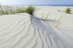Dune with beach grass Ammophila arenaria Vlieland province of North Holland The Stock Photos