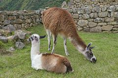 Stock Photo of Llamas Lama glama in front of a typical Incan wall UNESCO World Heritage Site