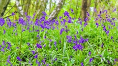 Beautiful Spring forest with bluebells flowers in blossom, Scotland Stock Footage