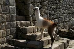 Llama Lama glama young climbing stages in the ruined city of Machu Picchu Peru Stock Photos