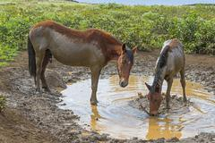 Feral horses mud bath Easter Island Chile South America Stock Photos