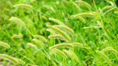 The grass is gently shaken in the wind - stock footage