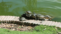 Stock Video Footage of slow turtles bask in the sun