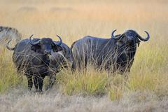 African Buffaloes or Cape Buffaloes Syncerus caffer standing in the tall grass - stock photo
