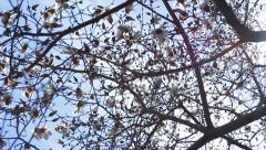60FPS Pan On White Magnolia Branches With Solar Flare - stock footage