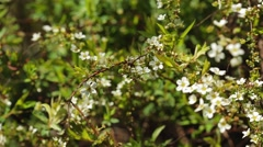 Pan On Small White Flowers (New Bradford Pear) Stock Footage