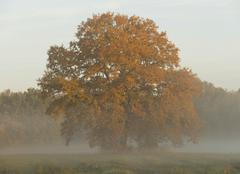 Solitary Pedunculate Oak Quercus robur in autumn in early morning light with - stock photo