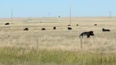 Herd of black prairie cows in Alberta, Canada. Stock Footage