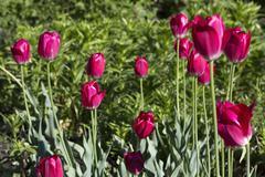 Beautiful crimson tulips Stock Photos